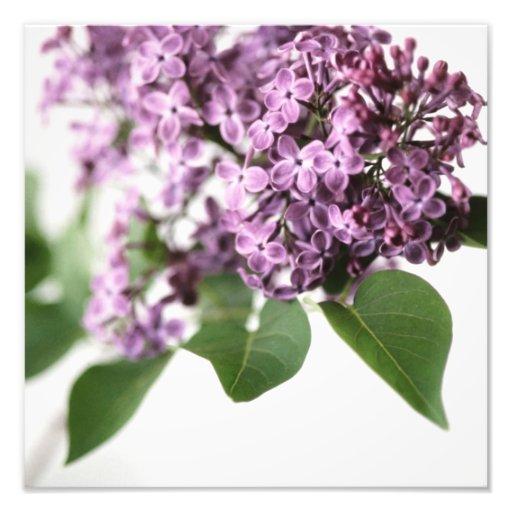 Lilac Flowers Springtime Fragrance Beauty Photo Print