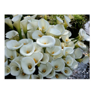 Lilies at Calla Lily Plantation, Taiwan Postcard