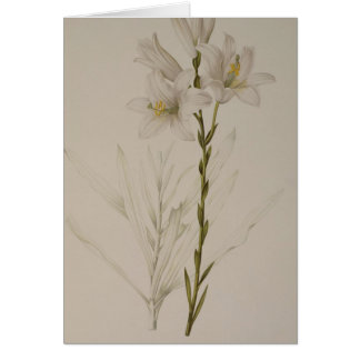 Lilium Candidum, from `Les Liliacees', 1807 Card