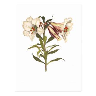 Lilium japonicum postcards