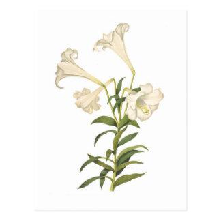 Lilium longiflorum postcards