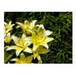 Lillies 1 post cards