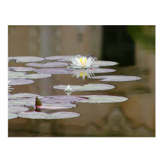 Lilly Lillies Ponds Lillypads Post Card