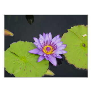 Lilly Pad from Chicago Botanic Garden Poster