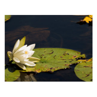 Lilly Pad Postcard