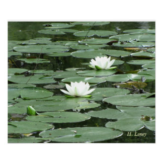 Lilly Pads in Bloom Poster