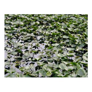 Lilly pads on a pond postcards
