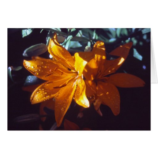 Lily | Greeting Cards