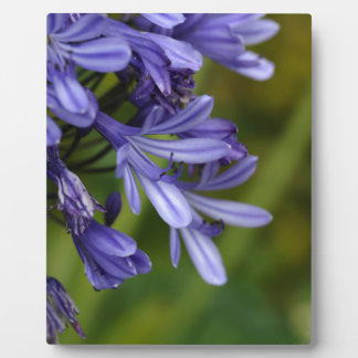 Lily of the Nile  (Agapanthus sp.) Plaque