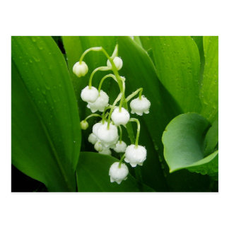Lily-of-the-Valley Post Card
