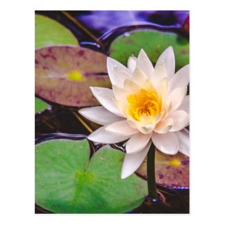 Lily pad on the water postcard