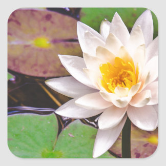 Lily pad on the water square sticker
