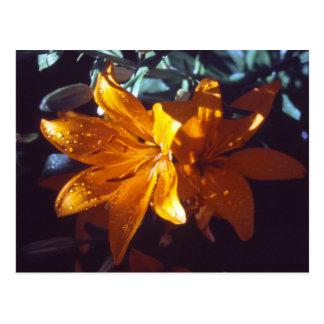 Lily | Postcard