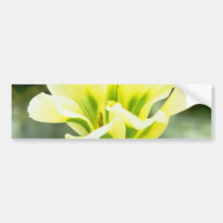 Lime Rembrandt tulip, 'Spring Green' flowers Bumper Stickers