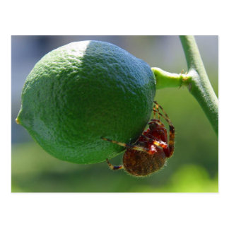 Limes Spiders Fruit Insects Postcard