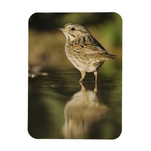 Lincoln's Sparrow, Melospiza lincolnii, adult 2 Flexible Magnet