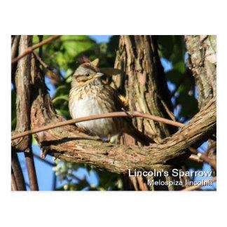 Lincoln's Sparrow Postcard