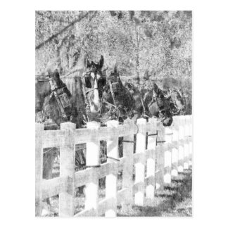 Line of Amish Horses Black and white Postcard