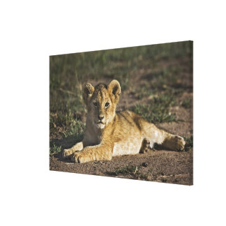Lion cub, Panthera leo, lying in tire tracks, Stretched Canvas Print