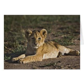 Lion cub, Panthera leo, lying in tire tracks, Card