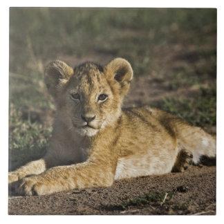 Lion cub, Panthera leo, lying in tire tracks, Large Square Tile
