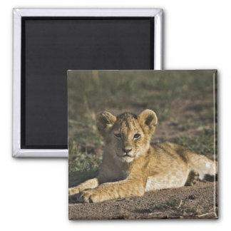 Lion cub, Panthera leo, lying in tire tracks, Refrigerator Magnet