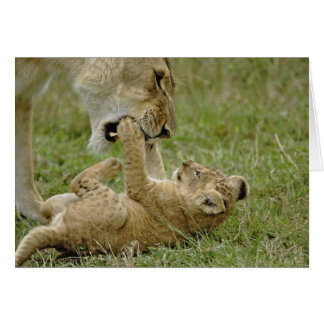 Lion cub playing with female lion, Masai Mara Card