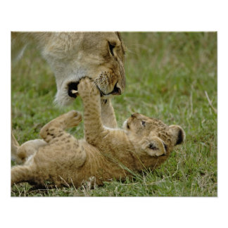 Lion cub playing with female lion, Masai Mara Poster