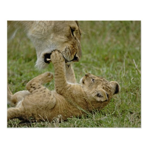 Lion cub playing with female lion, Masai Mara Poster