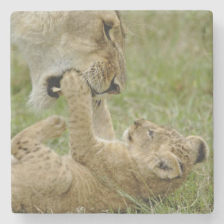 Lion cub playing with female lion, Masai Mara Stone Coaster