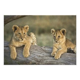 Lion cubs on log, Panthera leo, Masai Mara, Art Photo
