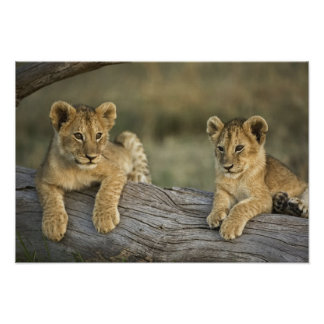 Lion cubs on log, Panthera leo, Masai Mara, Poster