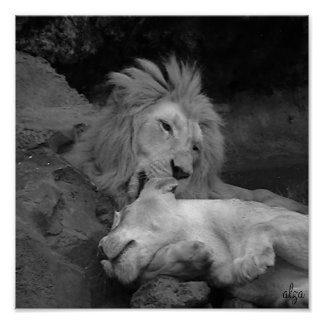 Lion grooming Lioness animal life 1 Poster