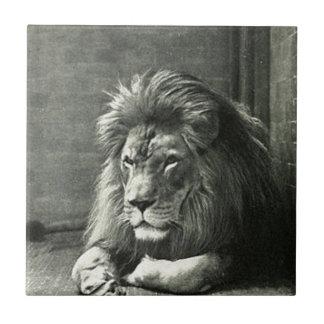 Lion Illustration Small Square Tile