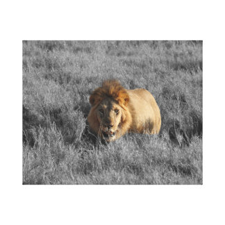 Lion in grass looking canvas print