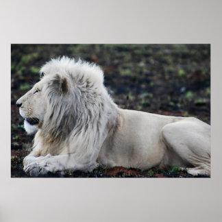 Lion in repose print