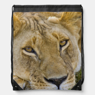 Lion in the brush, resting in the heat of the rucksack
