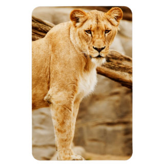 Lion Look Magnet