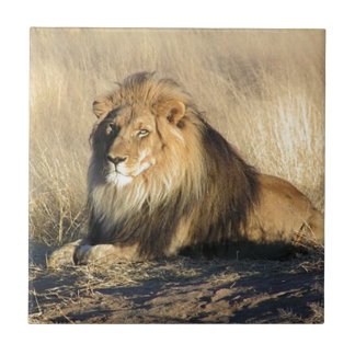 Lion lounging in Nambia Ceramic Tile