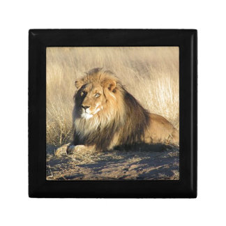 Lion lounging in Nambia Gift Box
