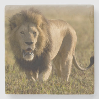 Lion male hunting stone coaster