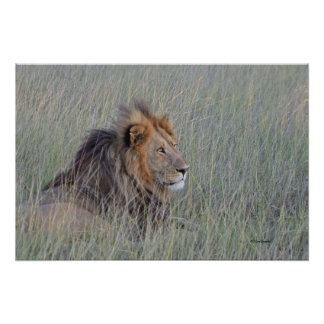 LION MALE lying in tall grass Photographic Print
