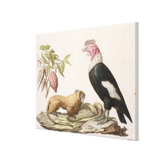 Lion monkey and condor, native to Chile or Ecuador Canvas Print