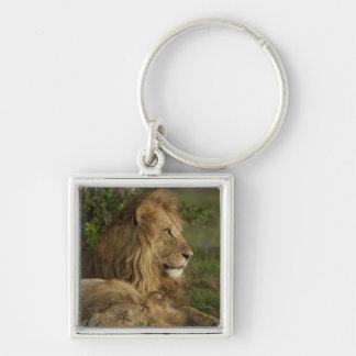 Lion, Panthera leo, Lower Mara, Masai Mara GR, Key Chains