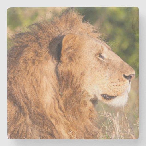 Lion (Panthera Leo) Maasai Mara, Kenya, Africa Stone Beverage Coaster