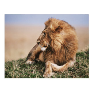 Lion resting in grass postcard