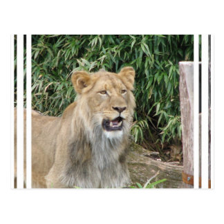 Lion Roar Postcard