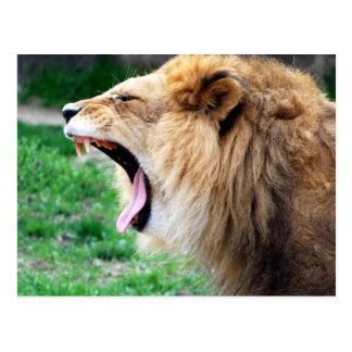lion roars post cards