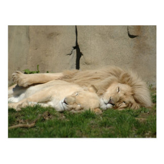 Lion sleeps tonight in your arms postcard