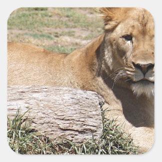 Lion Square Sticker
